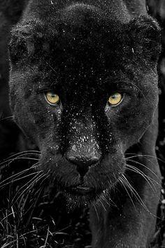 Black Jaguar Series by Colin Langford on 500px