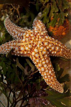 Knobby sea star (Pisaster giganteus).