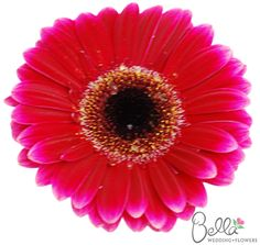 Dark pink with dark center gerbera daisies are fresh, fun and cheerful wedding flowers. Did you know that gerbera daisies are the 2nd most popular flower, after roses? $58