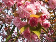 Cerezo Japones, Sakura Flor Doble Rosa & Blanco Con Rosa