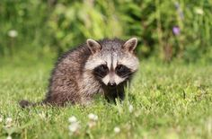 Have you seen one of these little guys in the Smokies? #raccoon