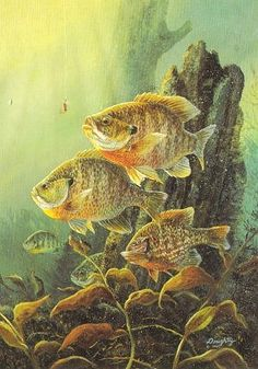 Nice gills Wildlife Paintings, Wildlife Art, Colorful Paintings, Fish Paintings, Bass Fishing Pictures, Fish Artwork, Fish Graphic, Different Fish, Fishing Photography