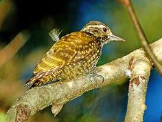 pica-pauzinho-verde-carijó (Veniliornis spilogaster) (Foto: Rudimar Narciso Cipriani)
