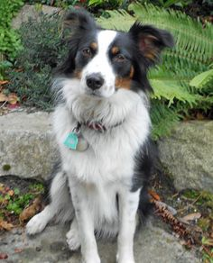 "stella, border collie from ""the daily puppy""  http://www.dailypuppy.com/dogs/stella-the-border-collie-mix_2012-03-29"