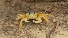 cangrejo-crab8