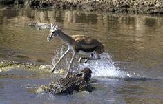 بالصور.. القفزة الأخيرة لصغير الغزال في فم تمساح