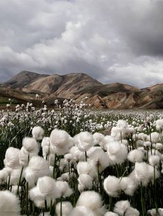 "'Cotton Grass"" with the colourful rhyolite mountains in the distance. Photo taken by Jennifer Jesse at Landmannalaugar, Iceland."