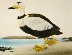 "Labrador Duck (extinct c. 1860) on the shores of Monhegan Island, 2010. Watercolor and gouache on paper, 30"" x 40"""