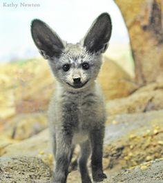 Bat -eared fox baby