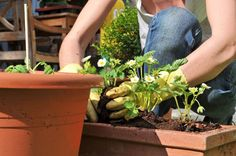 Choosing the size of your pots can seem like a daunting task to gardeners new to container gardening.http://www.maximumyield.com/size-matters-choosing-pots-for-your-container-garden/2/2866?utm_content=buffer55981&utm_medium=social&utm_source=pinterest.com&utm_campaign=buffer Thinking about starting your own hydroponics garden? Click here for supplies…