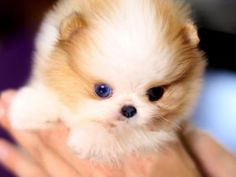 The Most Elegent Parti Colored Teacup Pomeranian for sale - Available Today! Call or Text us and take Aurae home! It's quick and easy Pomeranian Colors, Micro Pomeranian, Micro Teacup Puppies, Teacup Dogs, Welsh Corgi Puppies, Pomeranian Puppy, Cute Puppies, Teacup Pomeranian, Poodle Puppies