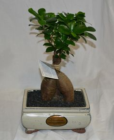 On Sale - featured special - only $39 for this bonsai fig - see front page www.iglasshouse.com.au