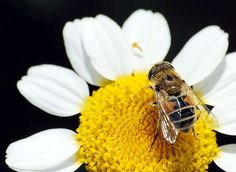 37 Million Bee Deaths in Canada Linked to GMOs