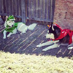 #husky #dogs .... Happy Halloween!