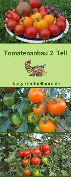 Im 2. Teil über den Anbau von Tomaten geht es um die Pflanzung, den Dünger, die weitere Pflege und vorbeugende Maßnahmen gegen Krankheiten. #Tomatenanbau #Tomatenkrankheiten #Tomatenimgarten