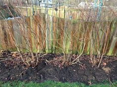 Use this method to prune blueberry bushes so you can maximize fruit set and improve production. Pruning Blueberry Bushes, Fruit Bushes, Fruit Trees, Easy Hobbies, Hobbies To Take Up, Raspberry Bush, Blueberry Bush Care, Hobby Farms, Hobby Hobby