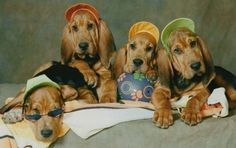 Too cute! Bloodhound puppies