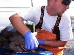 Cá heo chết hàng loạt dọc bờ biển các bang của Mỹ