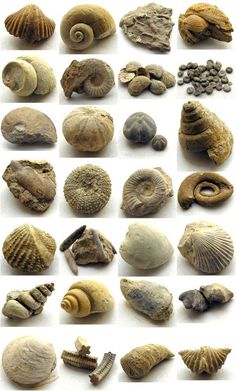Image result for fossilized shells texas