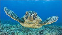 Hawksbill Sea Turtle Swimming Underwater by divingbali VideoHive Sea Turtle Wallpaper, Animal Wallpaper, Fish Wallpaper, Desktop Wallpapers, Wallpaper Backgrounds, Cute Turtles, Baby Turtles, Sea Turtles, Costa Rica