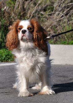 Cavalier King Charles Spaniel at the Palo Alto Baylands by donjd2 on Flickr.