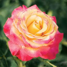 Dream Come True  ...  Name: Rosa 'Dream Come True'  Size: To 6 feet tall and 4 feet wide  Fragrance: Mild