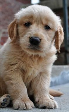 golden love..golden retriever pup
