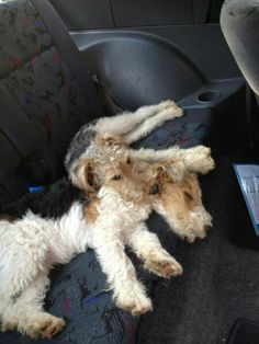 What a soft and cute pillow! #wirefoxterrier
