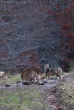 Lobo, Picos de Europa