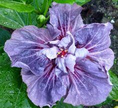 Hibiscus Flowers, Beautiful Flowers, Amazing, Plants, Cute Stuff, Plant, Planets