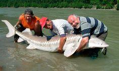 Esturión blanco, peces grandes del mundo