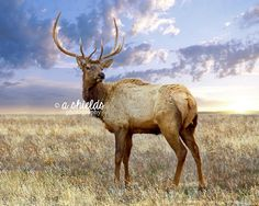 Texas Panhandle Elk {Print for Sale} Photo by A Shields Photography