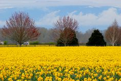Field of Daffodils Scenic Design, Spring Has Sprung, Big Fish, Daffodils, Acrylics, Spring Time, Bulbs, Wander, Fields