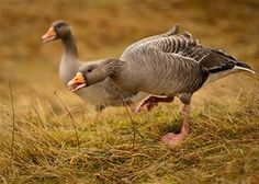 raising geese-a primer
