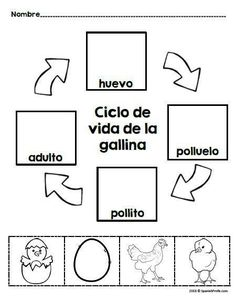 Chicken Life Cycle in Spanish (Las gallinas, gallos y pollitos) Activities, writing, observation pages and more for students in Spanish immersion, bilingual, dual language and Spanish language classes. There are a wide variety of activities to use in a K-