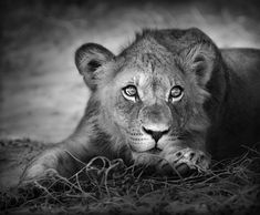 Wildlife Photography - Black and White - Art - Young lion portrait by Johan Swanepoel Home Pictures, Pictures To Paint, Print Pictures, Painting Pictures, Wall Pictures, Canvas Prints, Framed Prints, Art Prints, Poster Xxl