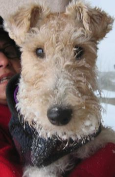 Fox Terrier. Cabezas Reales 15.20