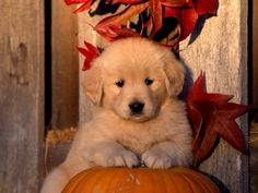 Cute Dog Sitting On A Pumpkin