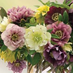 Washfield Doubles Helleborus Hellebore Washfield Doubles - Cottage Garden Plants - Van Meuwen - Now there are some gorgeous doubles!Hellebore Washfield Doubles - Cottage Garden Plants - Van Meuwen - Now there are some gorgeous doubles! Cottage Garden Design, Cottage Garden Plants, Cottage Gardens, Most Beautiful Flowers, Pretty Flowers, Lenten Rose, Christmas Rose, Hardy Perennials, Flower Farm