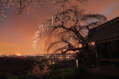 桜 2013 <京都 地蔵禅院> の画像:写真部