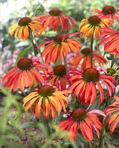 Echinacea 'Summer Sun' A great combo of color from yellow to orange to red.  Darkens as it ages