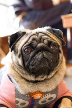 Pugs, Not Drugs : Photo