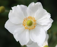 Buy Japanese anemone Anemone × hybrida 'Honorine Jobert'