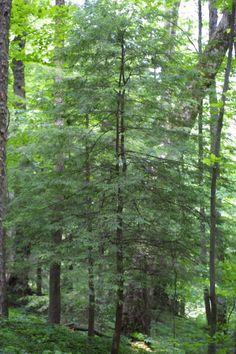 State tree of Pennsylvania is Eastern Hemlock (Tsuga canadensis)