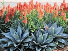 What is the Difference Between Aloe and Agave? What is the Difference Between Aloe and … Blooming Succulents, Growing Succulents, Cacti And Succulents, Planting Succulents, Cactus Plants, Succulent Landscaping, Succulent Gardening, Front Yard Landscaping, Cacti Garden