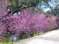 line of eastern redbuds that i'll be replicating with north privets Eastern Redbud, Trees Online, Outdoor Landscaping, Nevada, Country Roads, Yard, Landscape, Plants, Patio