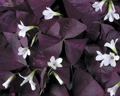 Purple Oxalis They Say Part Sun But I Ve Seen It Do