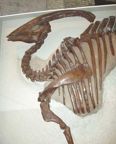 World famous Parasaurolophus, Royal Ontario Museum. Dinosaur Age, Dinosaur Bones, Dinosaur Fossils, Prehistoric Dinosaurs, Prehistoric Creatures, Amber Fossils, Fossil Hunting, Extinct Animals, Gems And Minerals