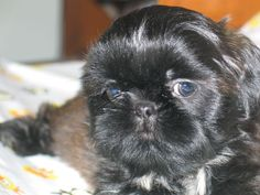 THE Perfect face! Shih Tzu Dog, Shih Tzus, I Love Dogs, Puppy Love, Baby Animals, Cute Animals, Lhasa Apso, Pekingese, More Cute