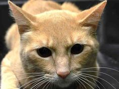 TO BE DESTROYED 2/20/15 *NYC* PRETTY ORANGE TABBY!! * Manhattan Center * During the touch, he hesitates and seems unsure with tail slighty down, but shows interest by head-butting in place. Canton tolerates attention and petting but may be fearful in the shelter. *  My name is CANTON. My Animal ID # is A1027160. I am a male org tabby domestic sh mix. I am about 3 YEARS old.  I came in the shelter as a STRAY on 02/04/2015 from NY 10473